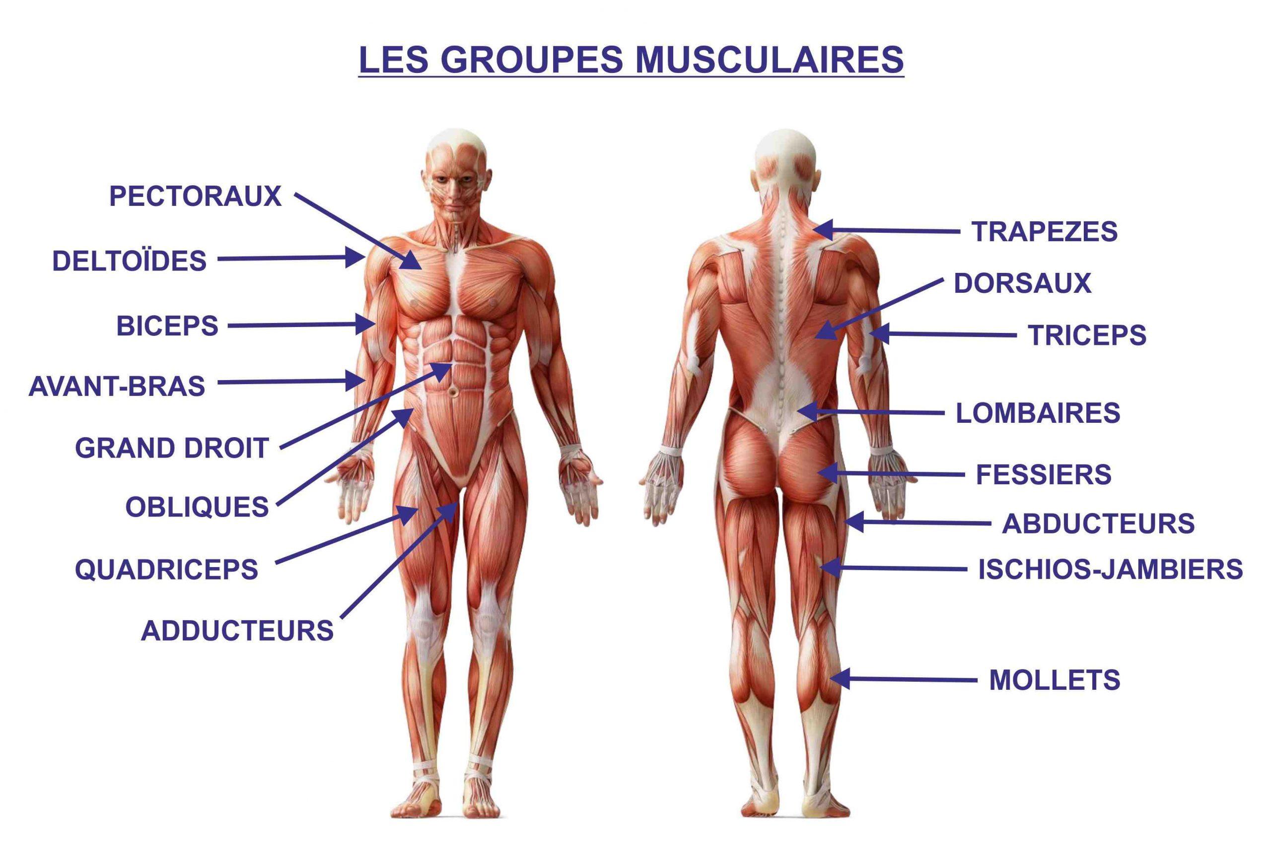 Quels muscles travaillent en même temps?