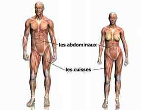 Quel est le muscle le plus flexible du corps humain?