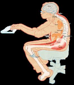 Quel est le muscle le plus fort du corps humain?