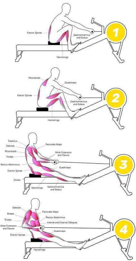 Quel est le muscle le plus important?