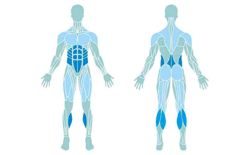 Quelle est la partie la plus musclée du corps?