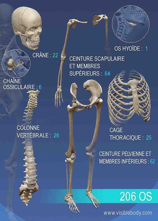 Quels muscles sont dans notre corps?