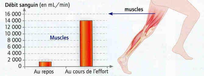 Comment le corps répond-il aux besoins des muscles?
